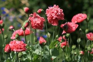rosa vallmo